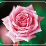 【ポーラのボディシャンプー】天然の花から抽出した本物の花の香り!!